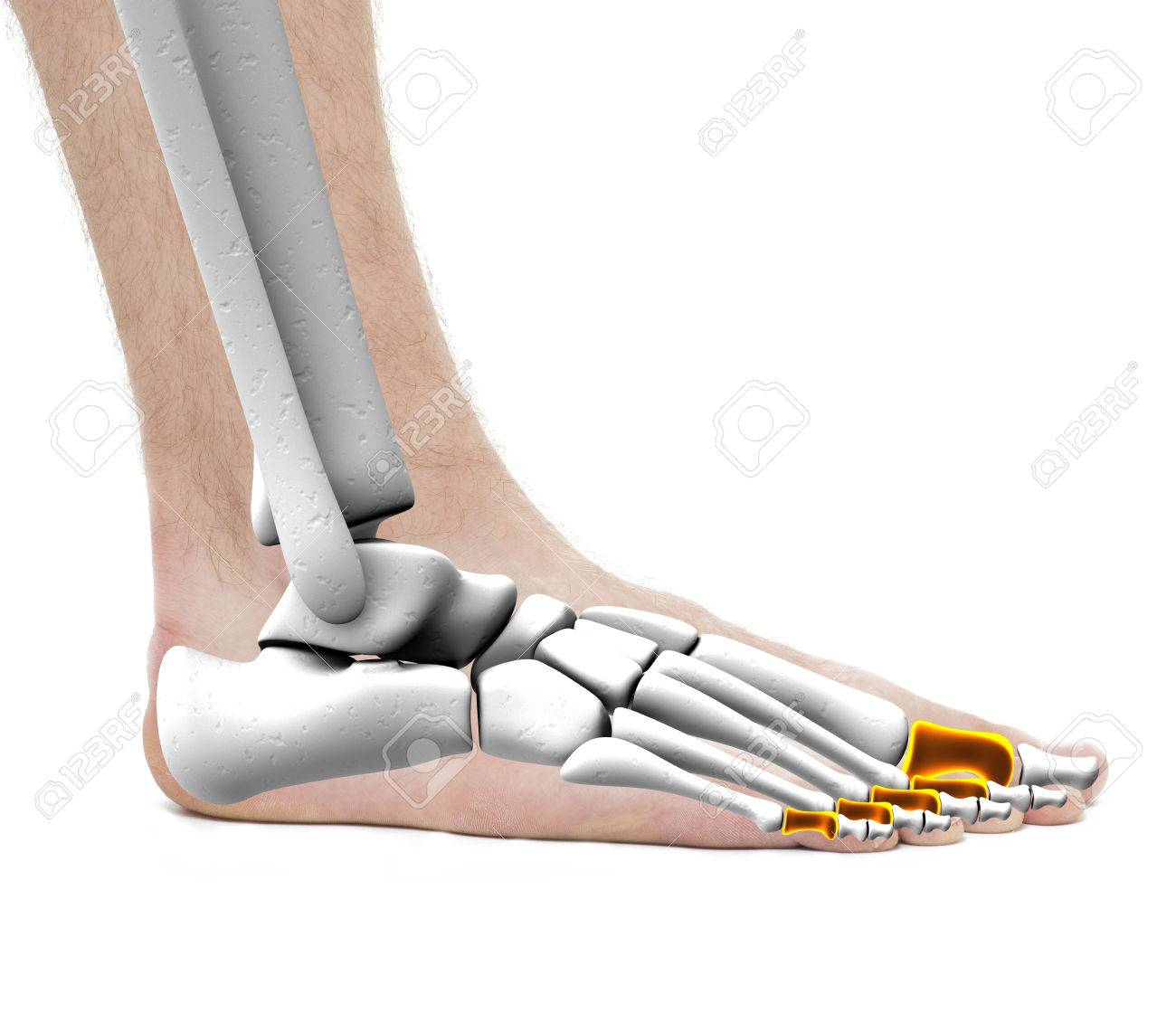 Proximal Bones - Anatomy Male - Studio Photo Isolated On White Stock ...