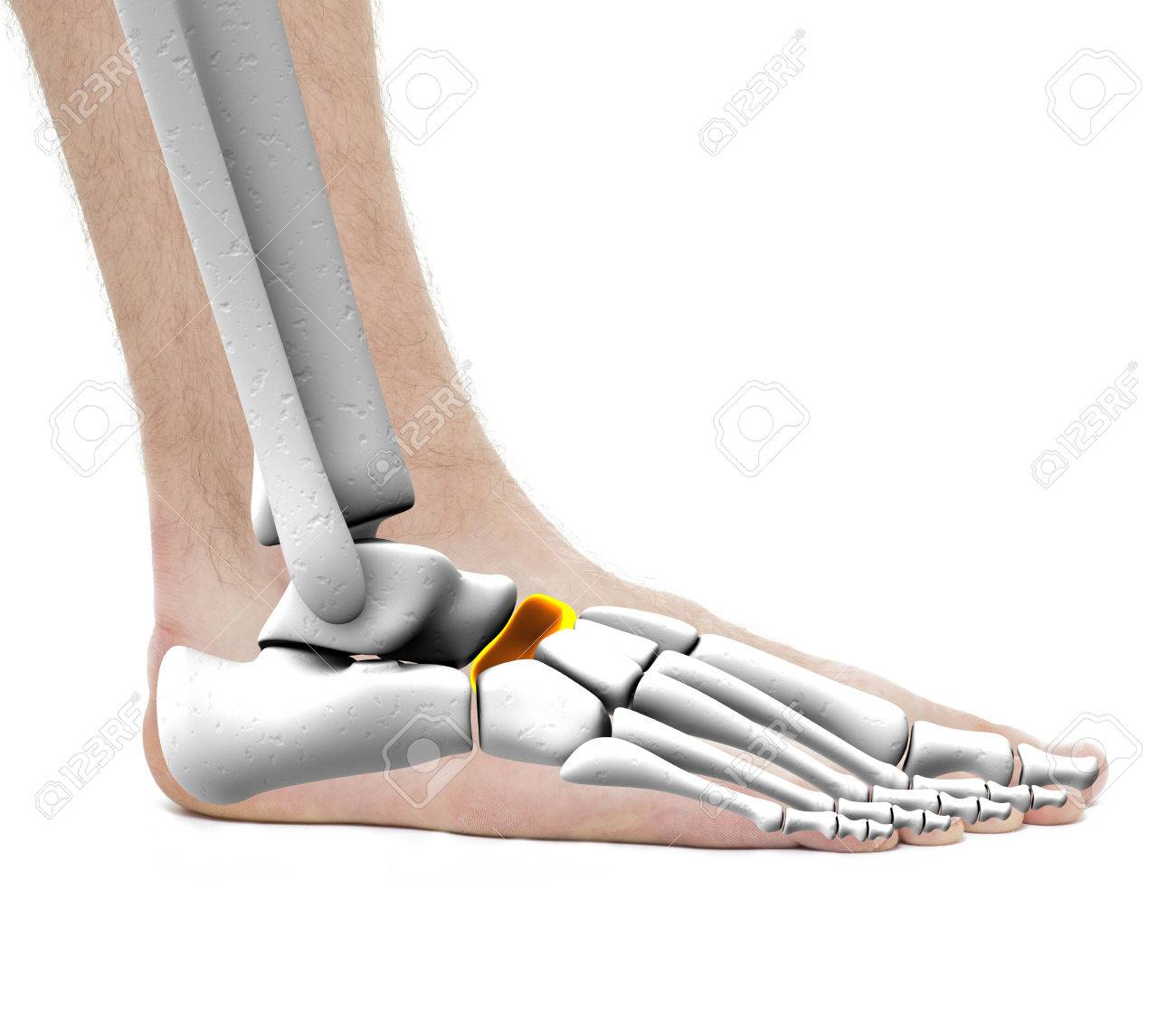 Scaphoid Bone - Anatomie Male - Studio Foto Auf Weißem Lizenzfreie ...