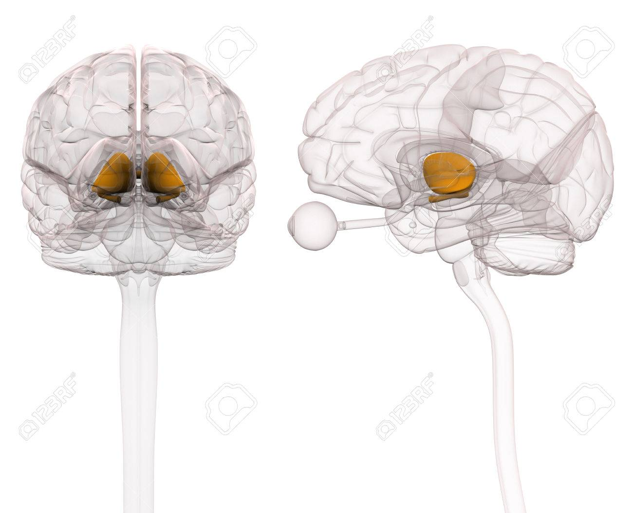 Thalamus Brain Anatomy Stock Photo, Picture And Royalty Free Image ...