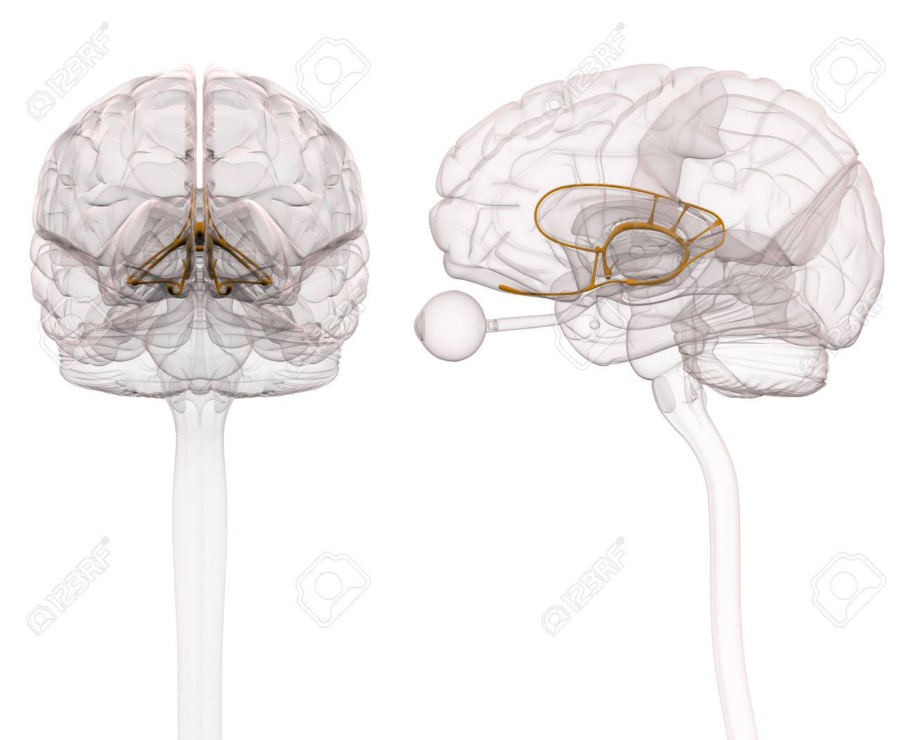 Limbic System Brain Anatomy - 3d Illustration Stock Photo, Picture ...
