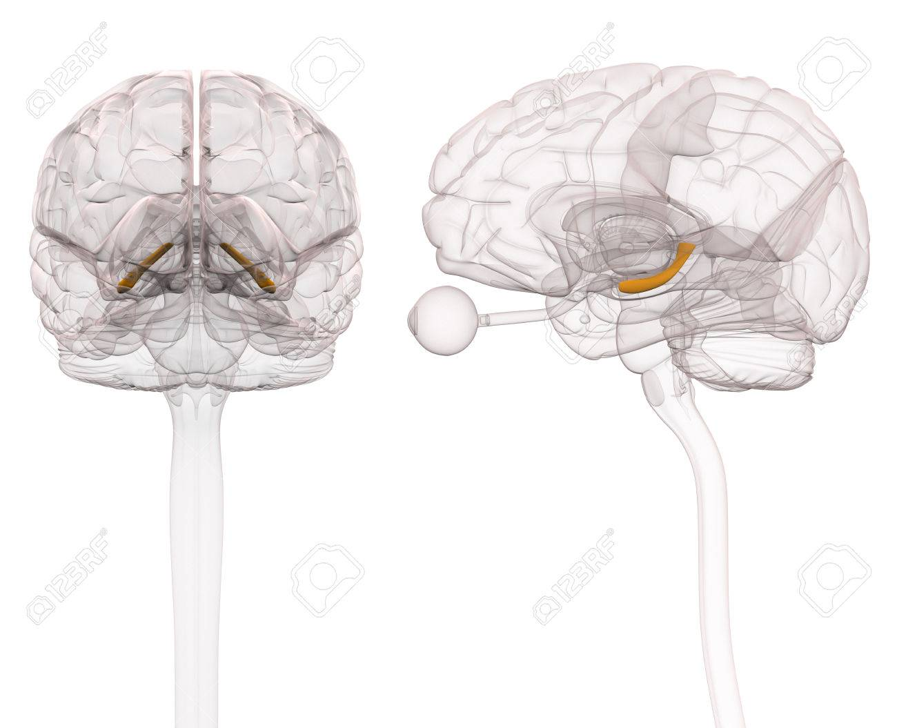 Hippocampus Brain Anatomy - 3d Illustration Stock Photo, Picture And ...