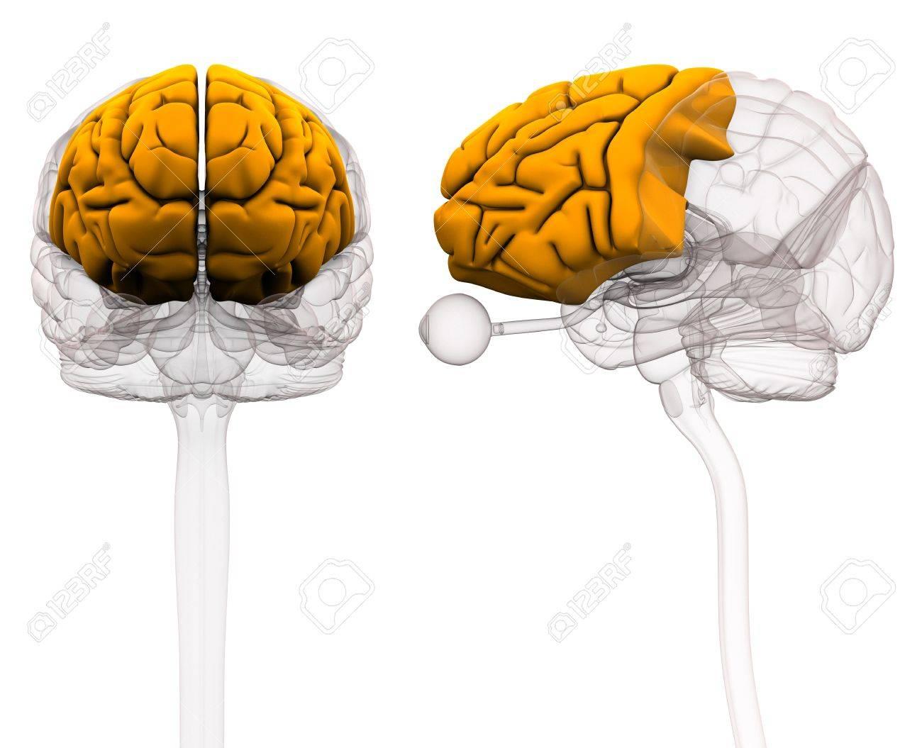 Frontal Lobe Brain Anatomy - 3d Illustration Stock Photo, Picture ...
