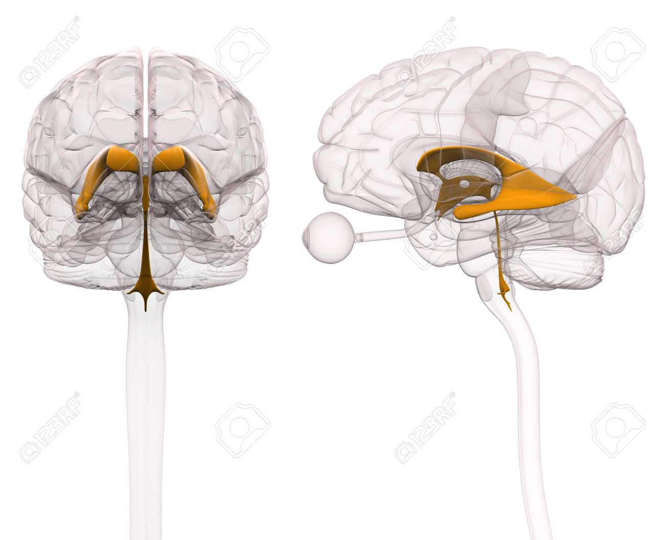 Ventricles Of Brain Anatomy Stock Photo, Picture And Royalty Free ...