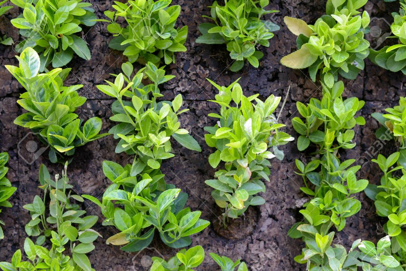 grüne mauerpflanzen. lizenzfreie fotos, bilder und stock fotografie