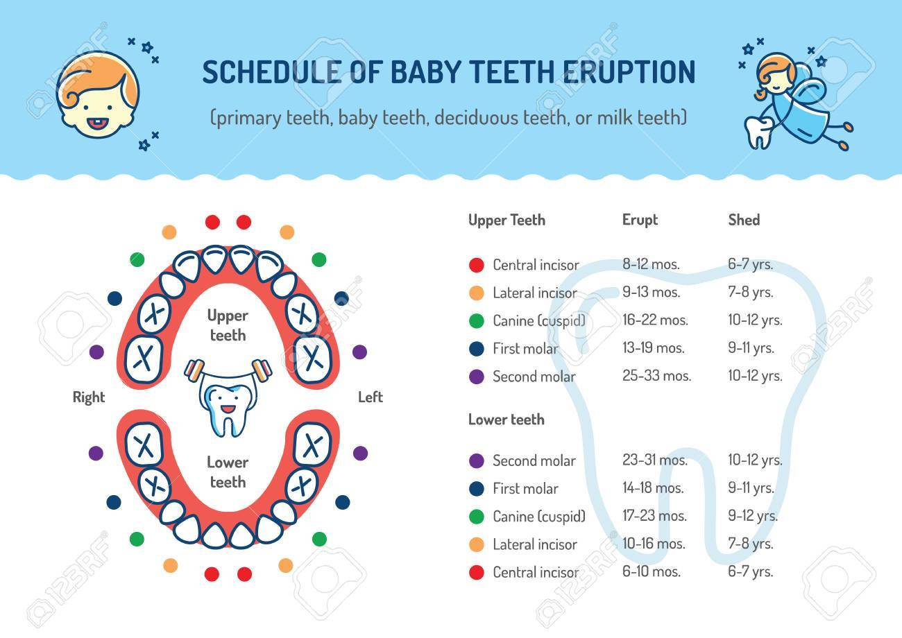 schedule of baby teeth eruption primary teeth deciduous teeth hildrens dentistry infographics dental