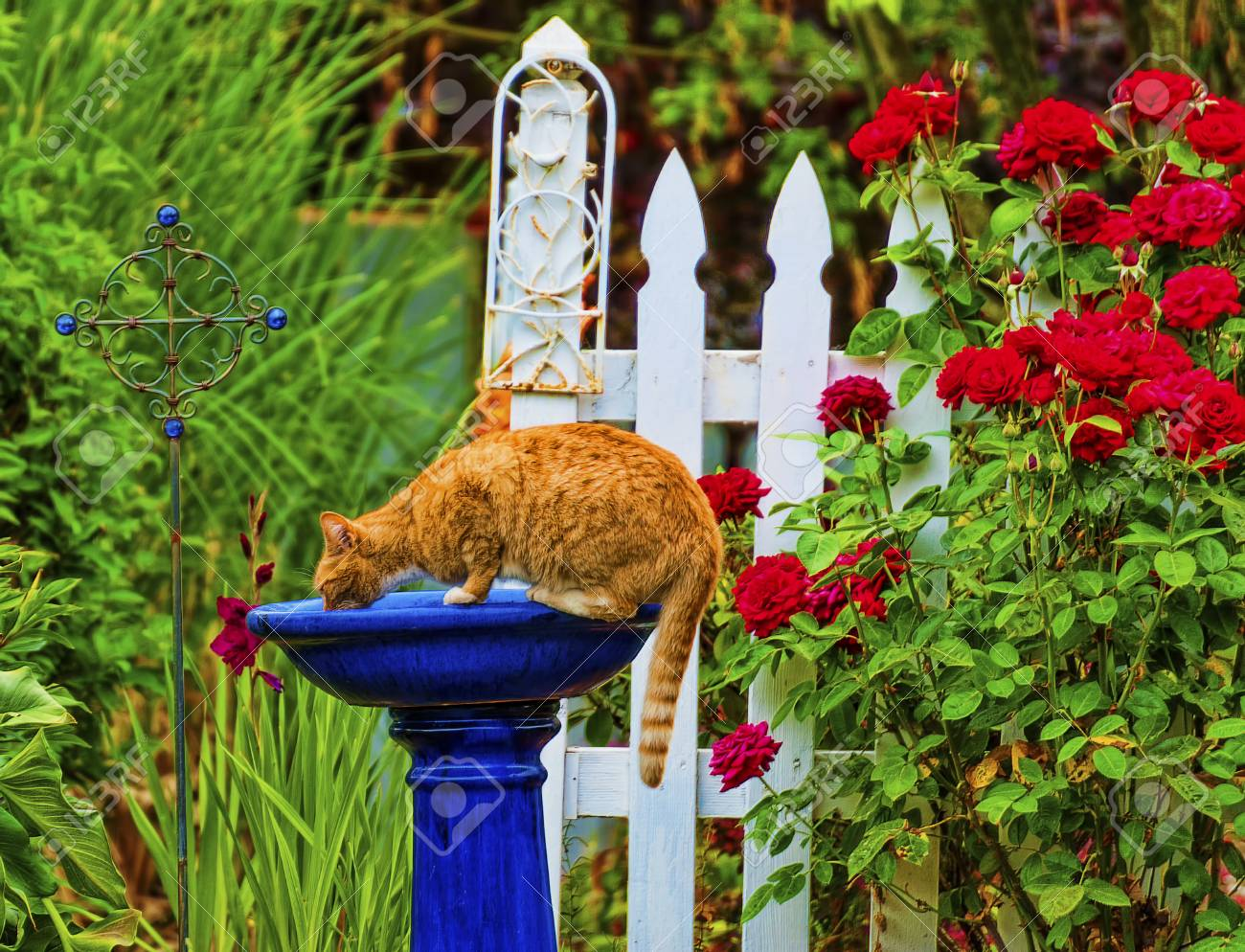 Orange Tabby Cat Drinking Out Of The Bird Bath In A Garden With White  Picket Fence