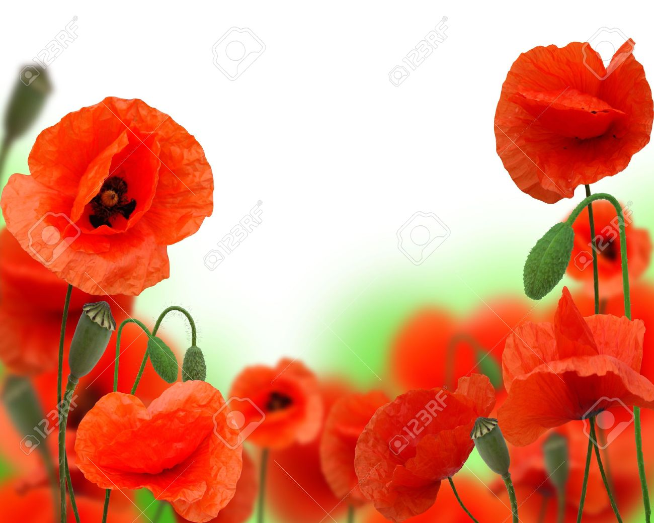 Poppy flower field at night royalty free stock photography image - Depth Field Beautiful Red Poppy