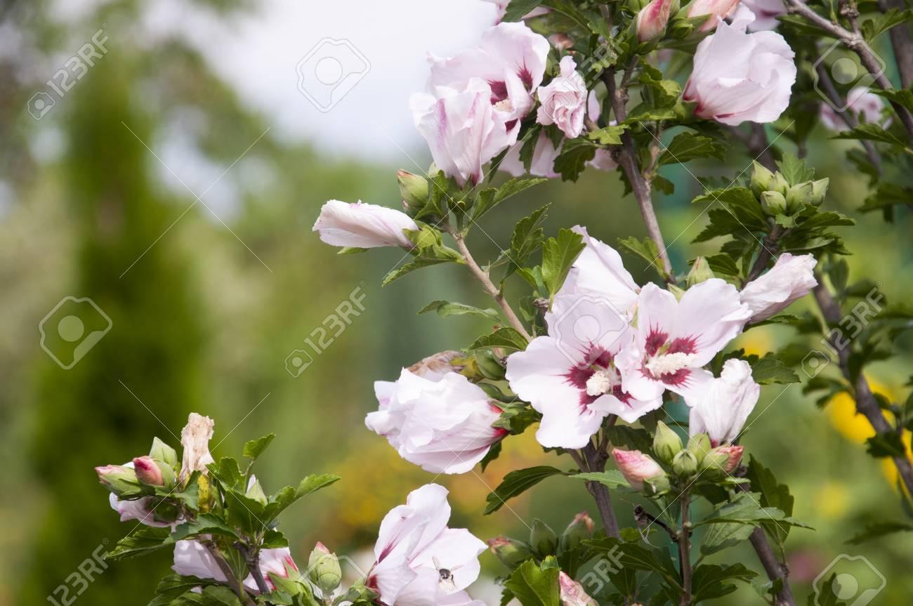 Pale Fleur Mauve Rose Dans Le Jardin Banque D Images Et Photos
