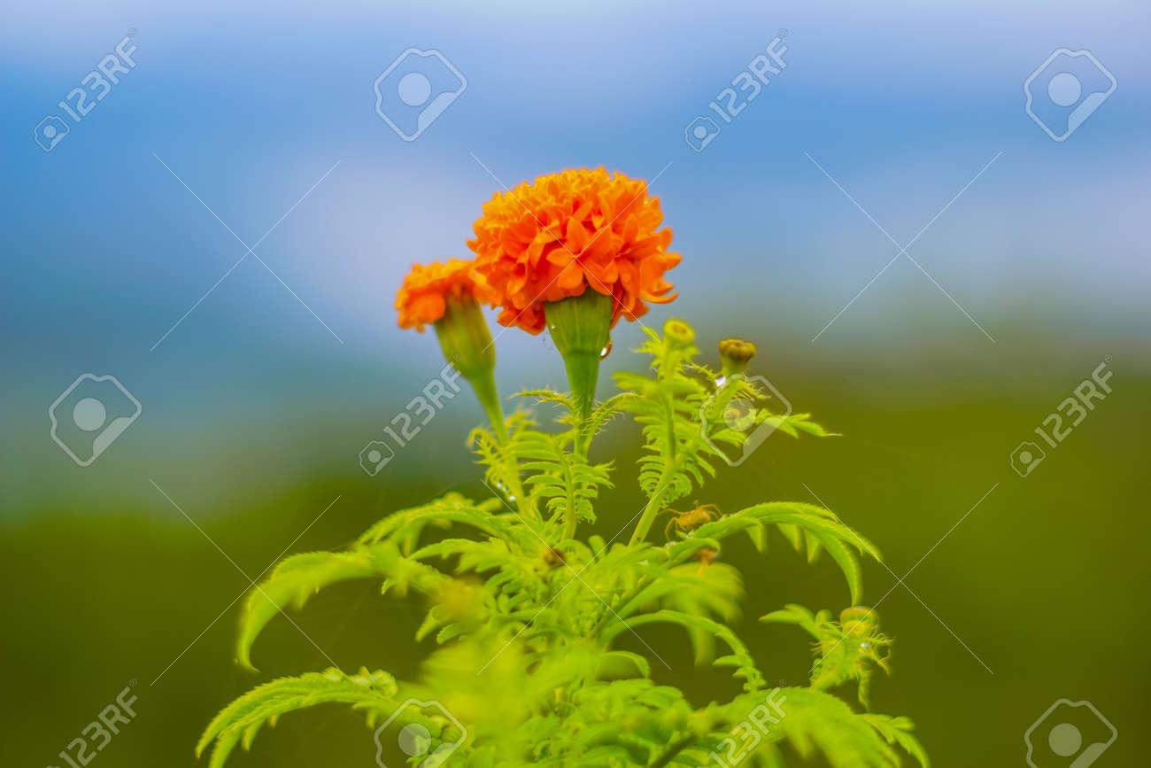 closeup of marigold orange flower. selective focus and blur background - 131850619