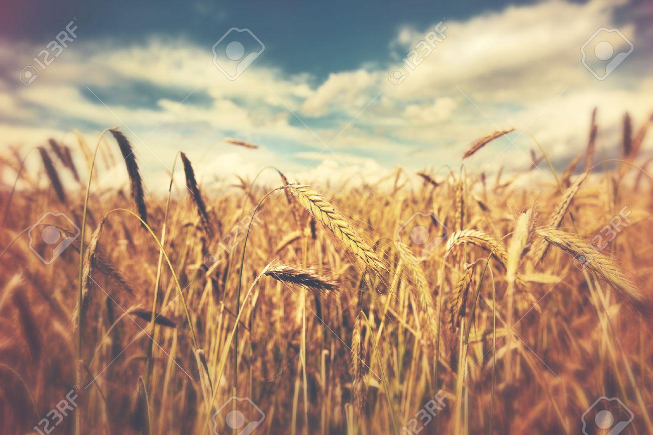sunny wheat field Stock Photo - 46592794