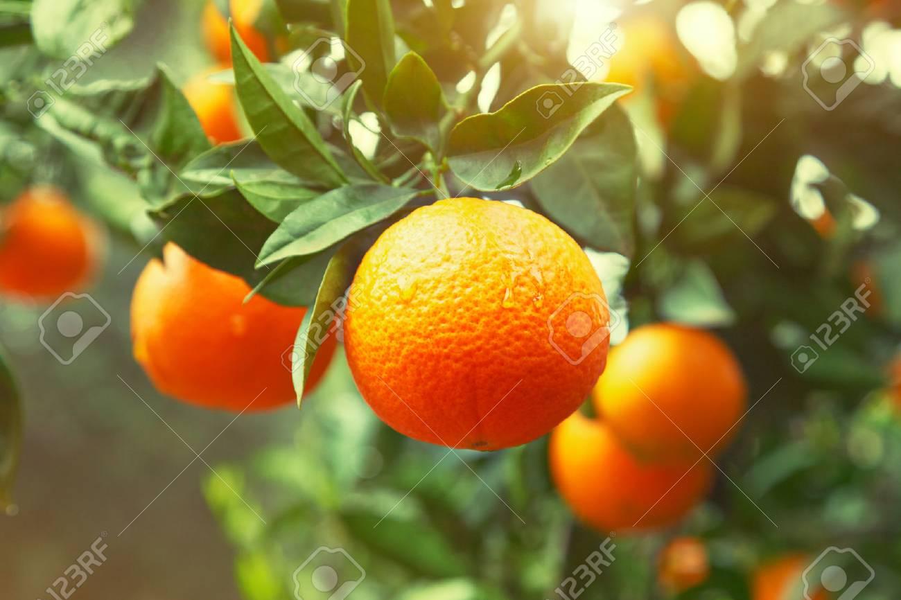 Orange tree Stock Photo - 61919965