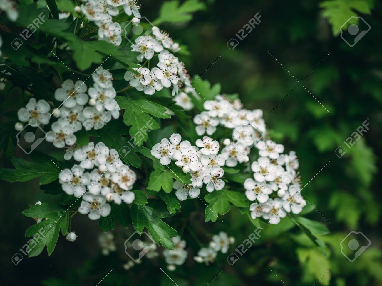 Hawthorn Tree White Flowers Blossom On Spring Green Nature