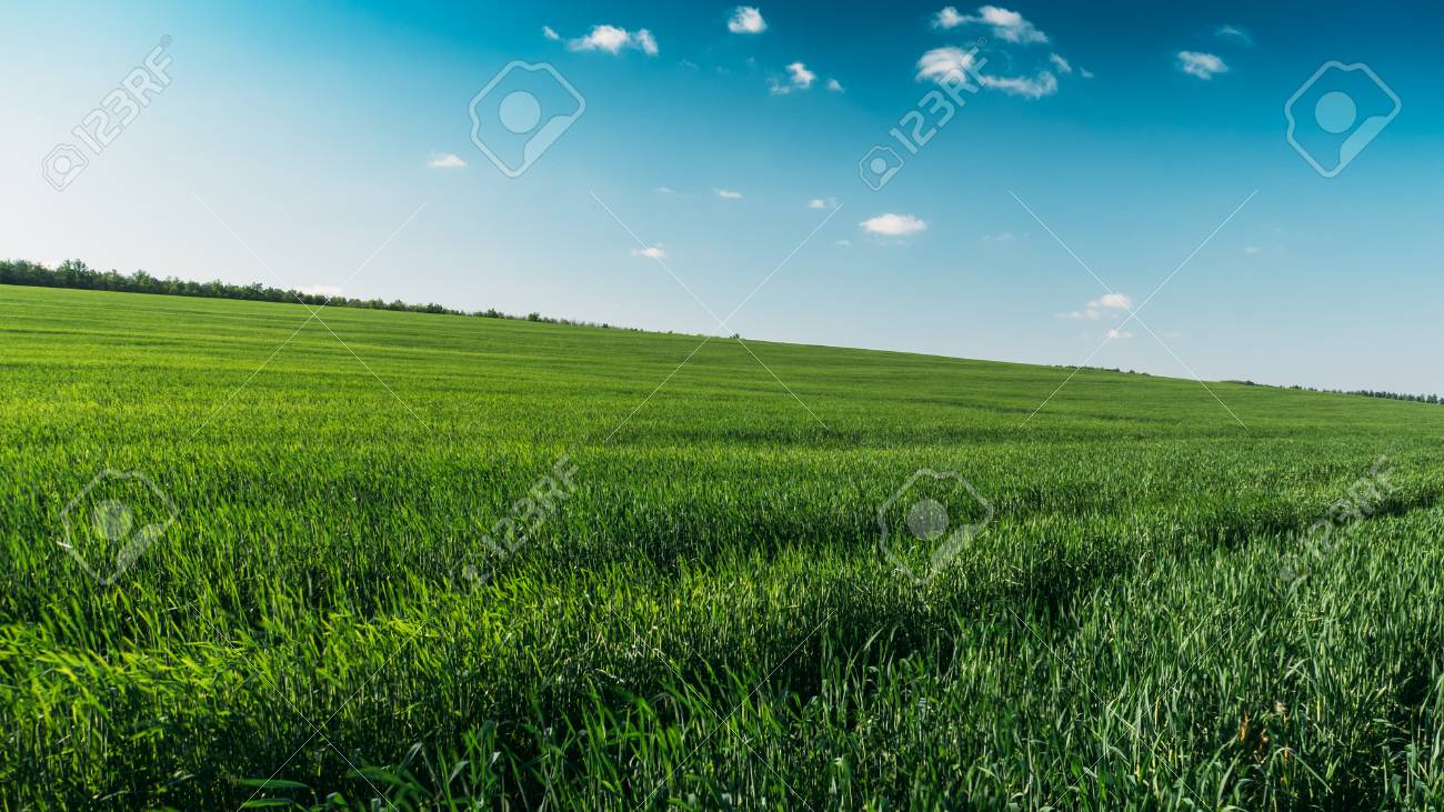 landscape panorama of green field with high green gras in summer
