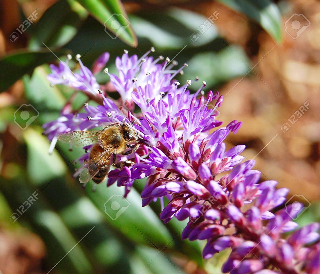 Bee on Hebe Plant Stock Photo - 13570731
