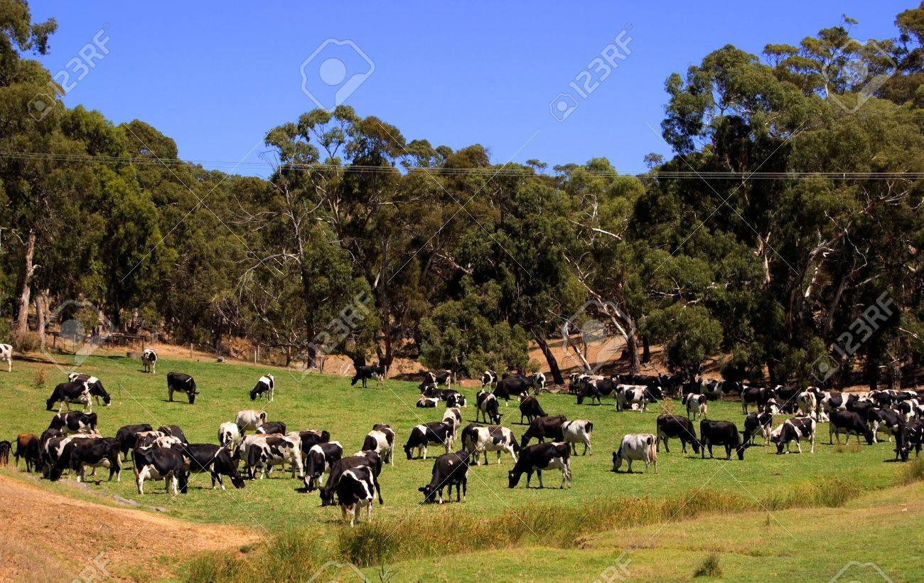 Dairy Cattle Grazing Stock Photo - 13570743
