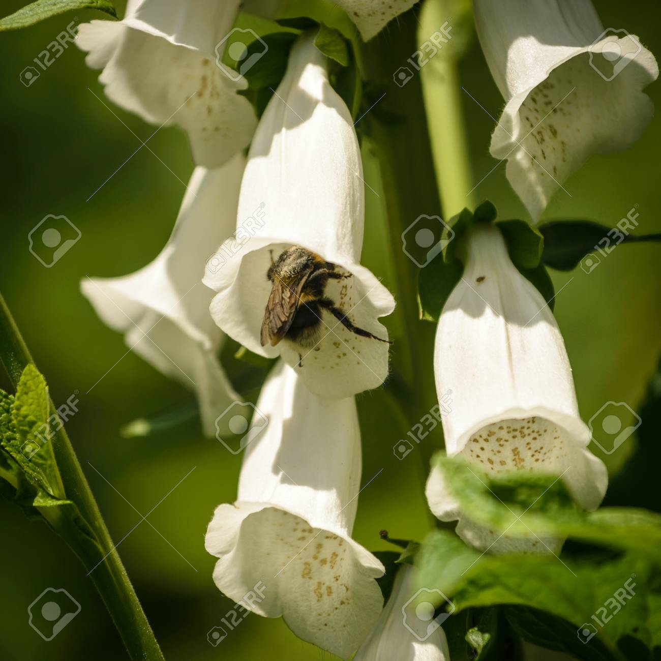 White Rare And Deadly Foxglove Flowers Digitalis In A Garden Stock