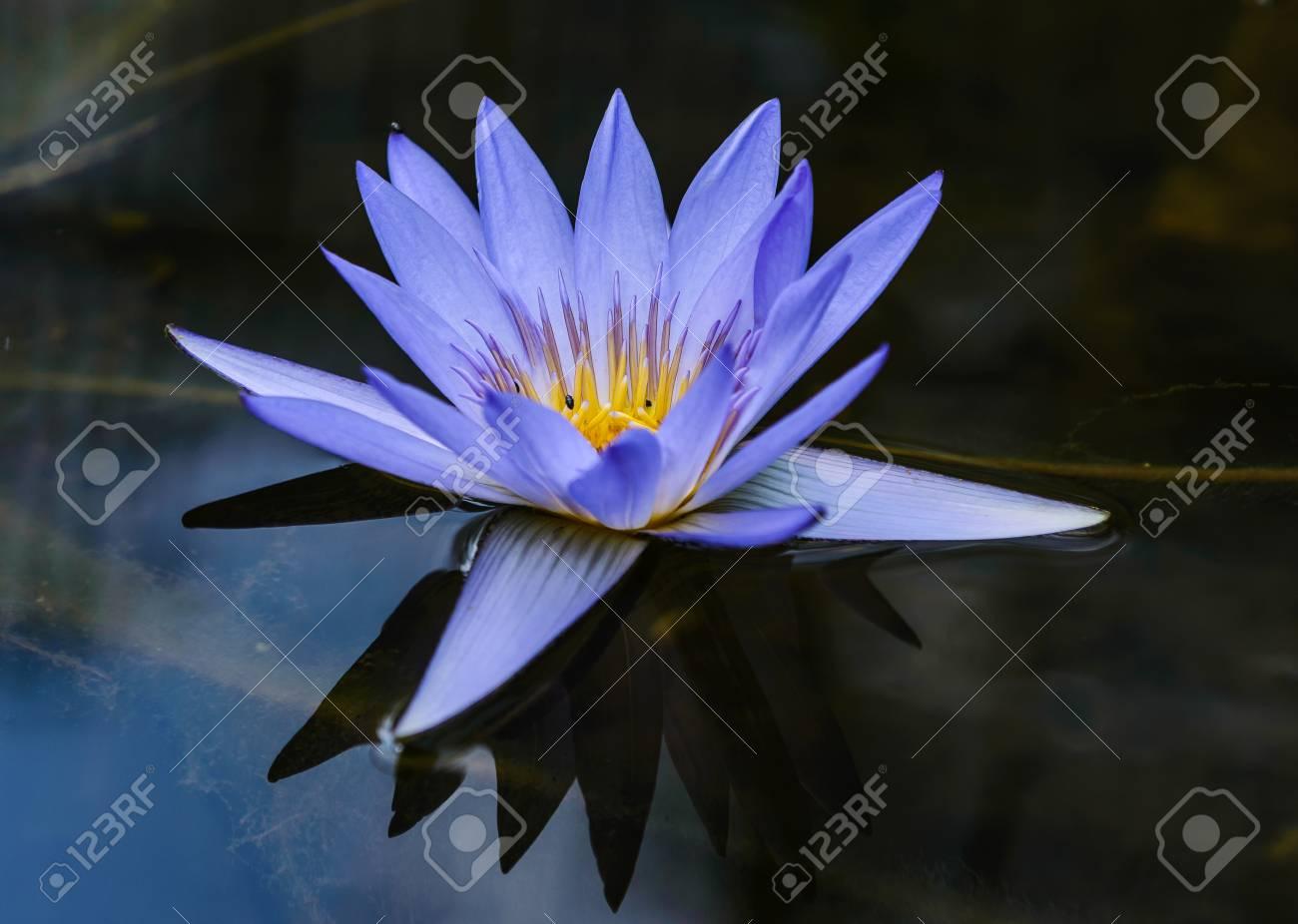 Close Up De La Belle Fleur De Lotus Bleu Dans L Eau De L Etang Clair