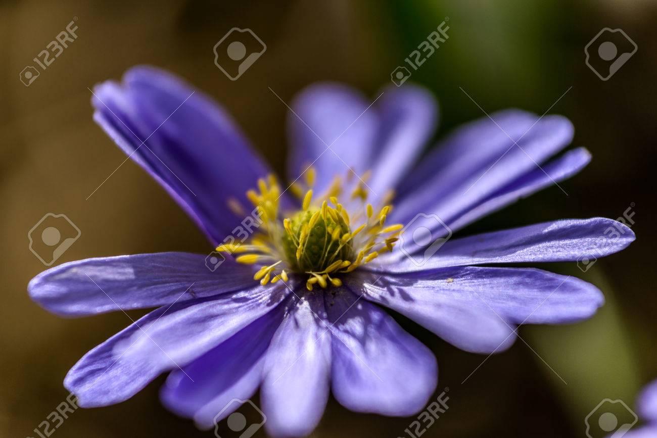 Liverwort Hepatica Nobilis Blume Erste Blumen Blühen Im Frühjahr