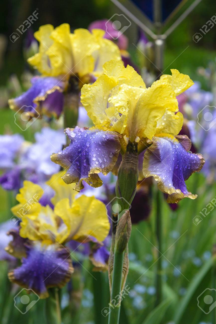 Close Up Of A Flower Bearded Iris Tumultueux In Garden Stock Photo