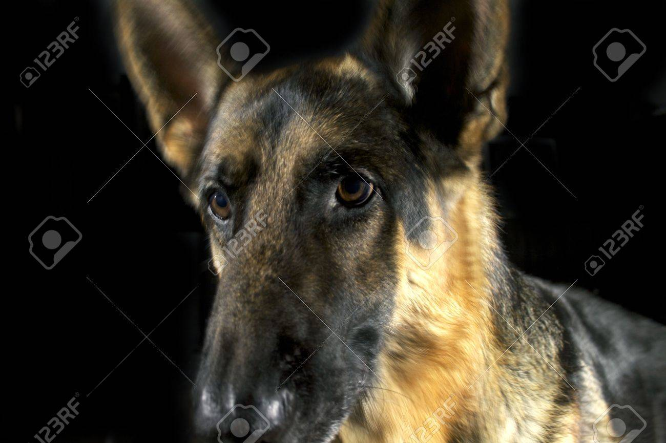 A closeup of a German Shepherd's face on a black backgound Stock Photo - 5859347