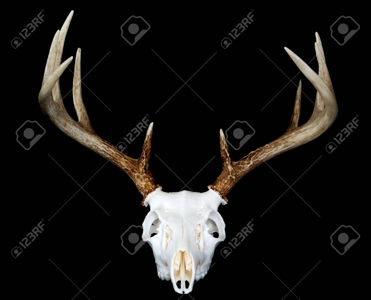 A head on view of a european deer mount Stock Photo - 7307951