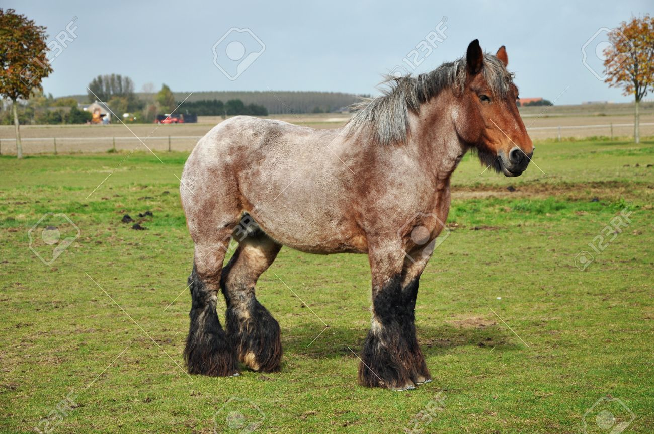 Dutch Heavy Draft Horse In A Meadow Near Sint Philipsland In Stock Photo Picture And Royalty Free Image Image 26789585