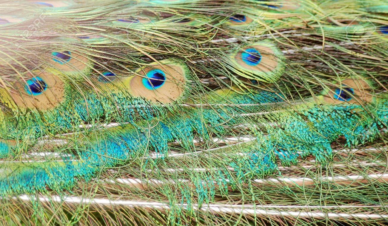 Bird peacock feather close up Stock Photo - 7181338