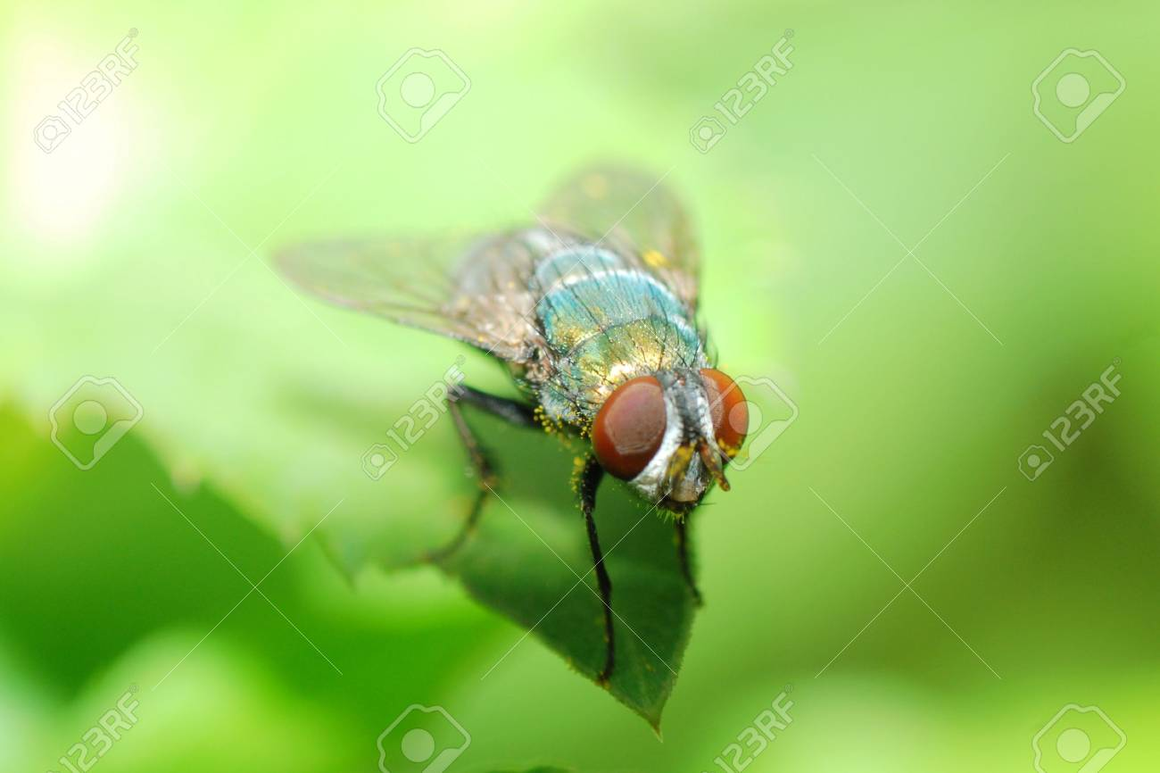 insect fly macro Stock Photo - 7383468