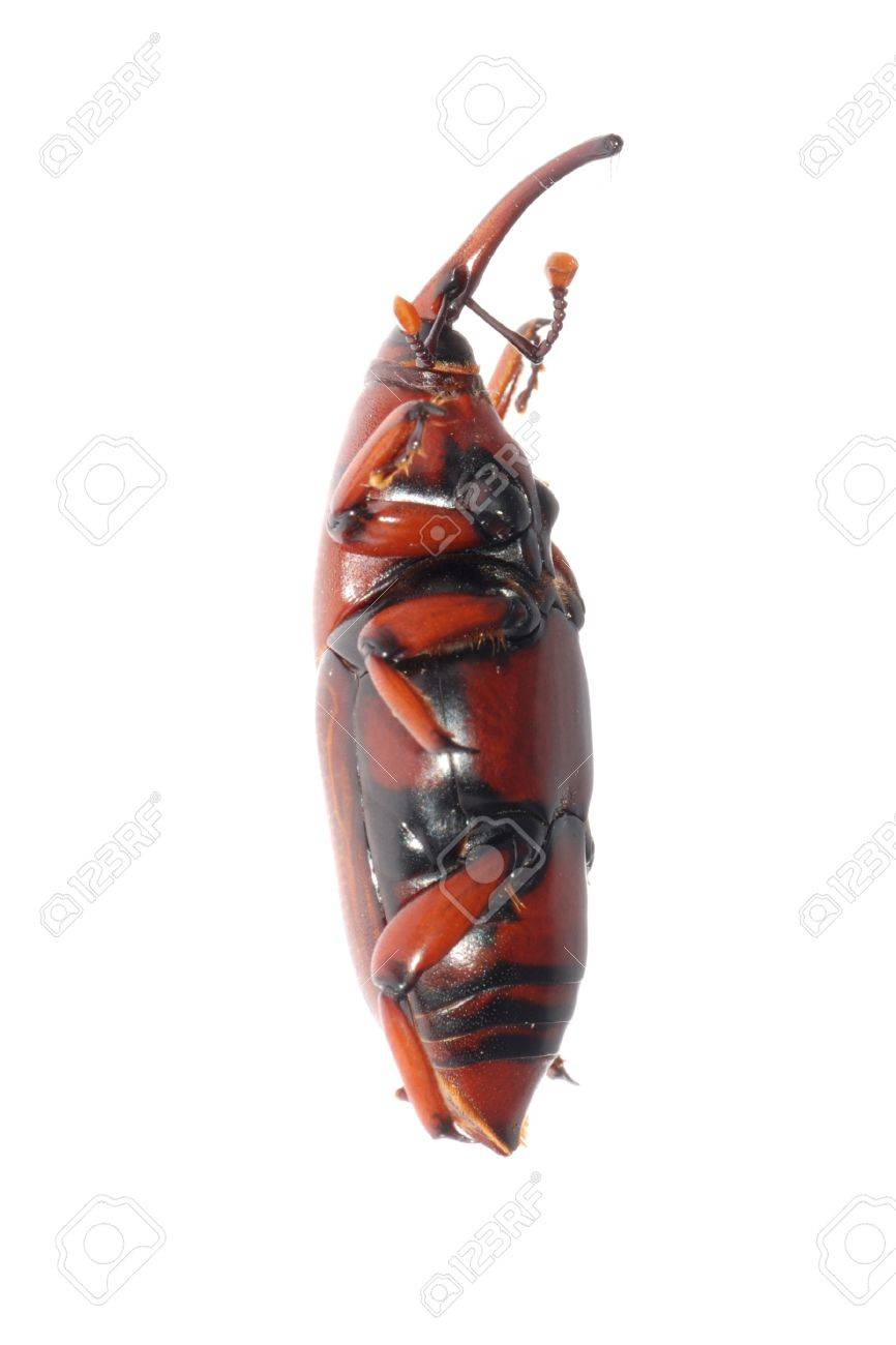 insect weevil snout beetle isolated on white Stock Photo - 7921246