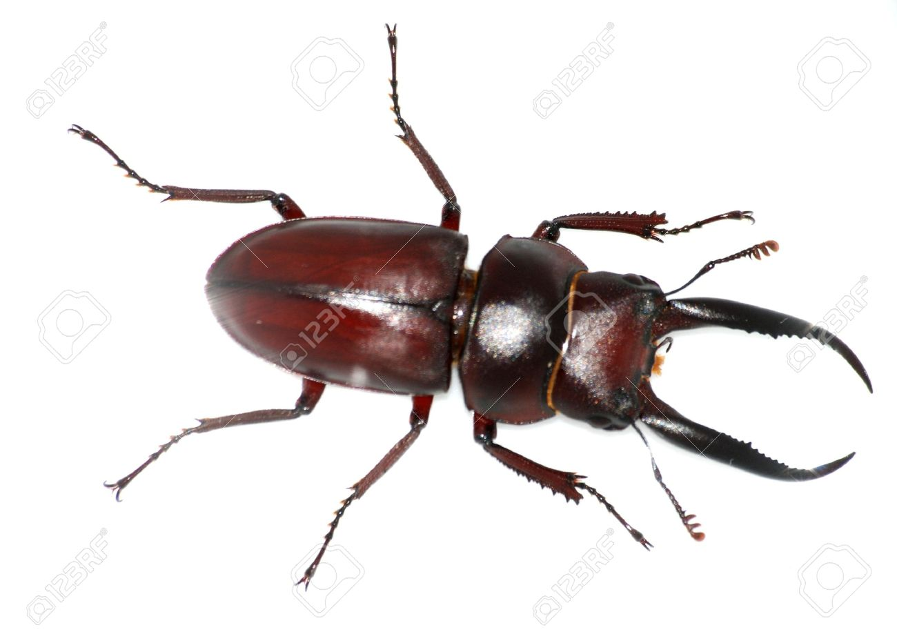 insect stag beetle bug isolated in white - 7987275