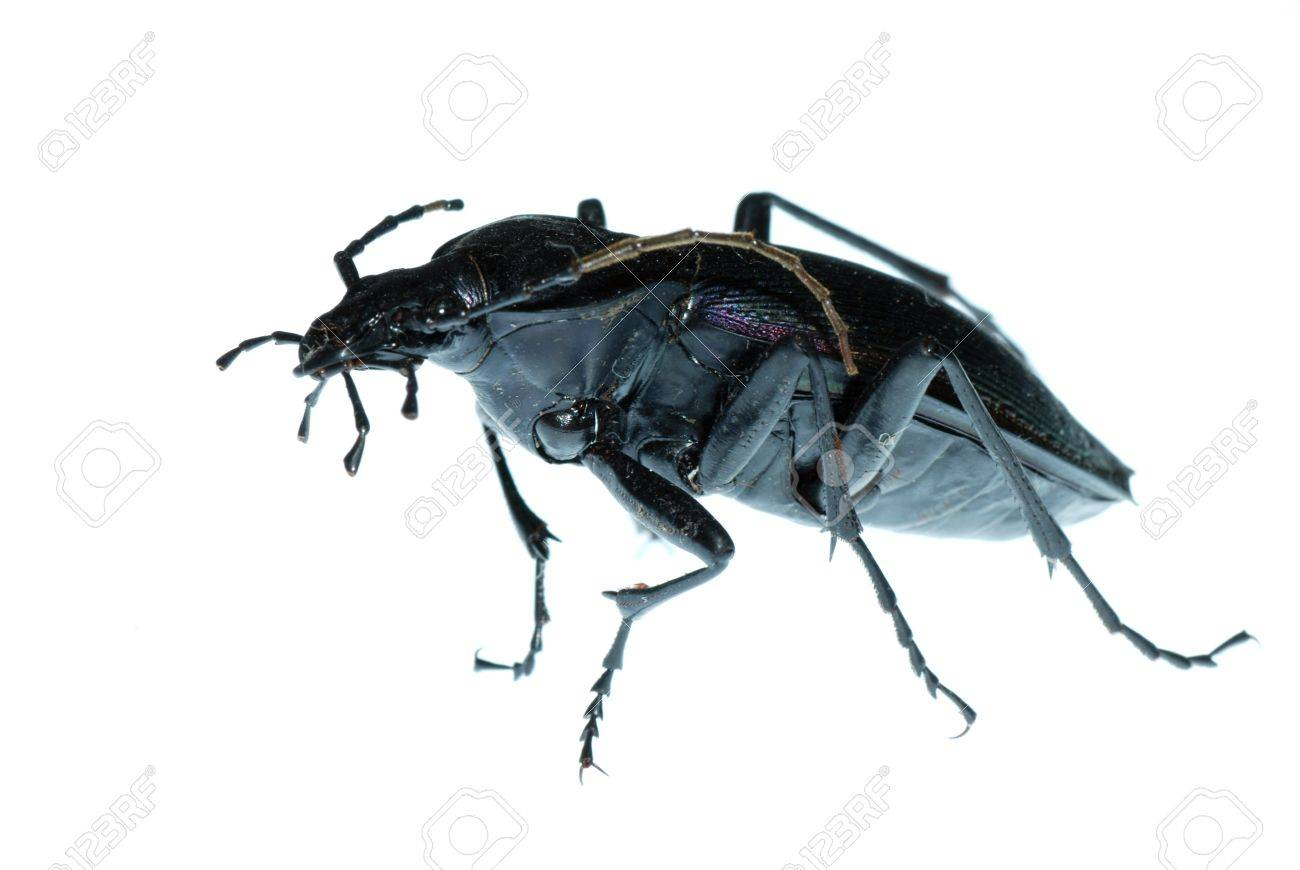 insect ground beetle (Carabus prodigus)isolated in white background