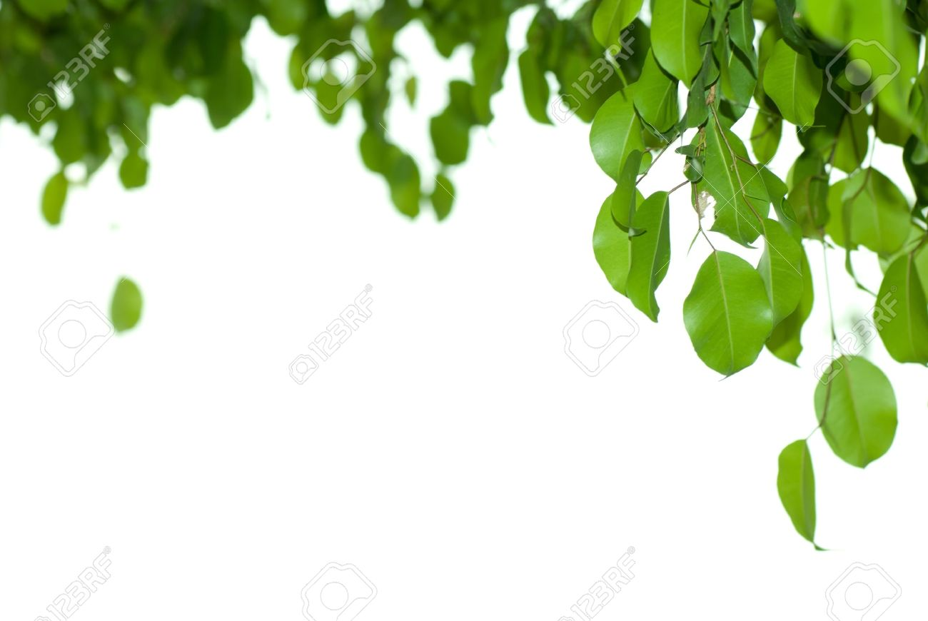 Banyan Tree Leaf Isolated On White Background Stock Photo