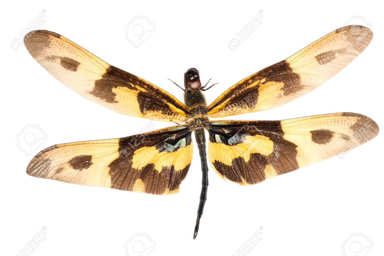 insect dragonfly isolated in white Stock Photo - 9939340