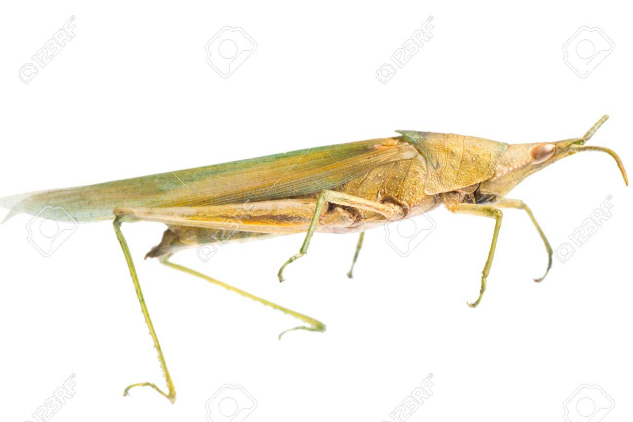 pest insect grasshopper locust isolated on white Stock Photo - 9939233