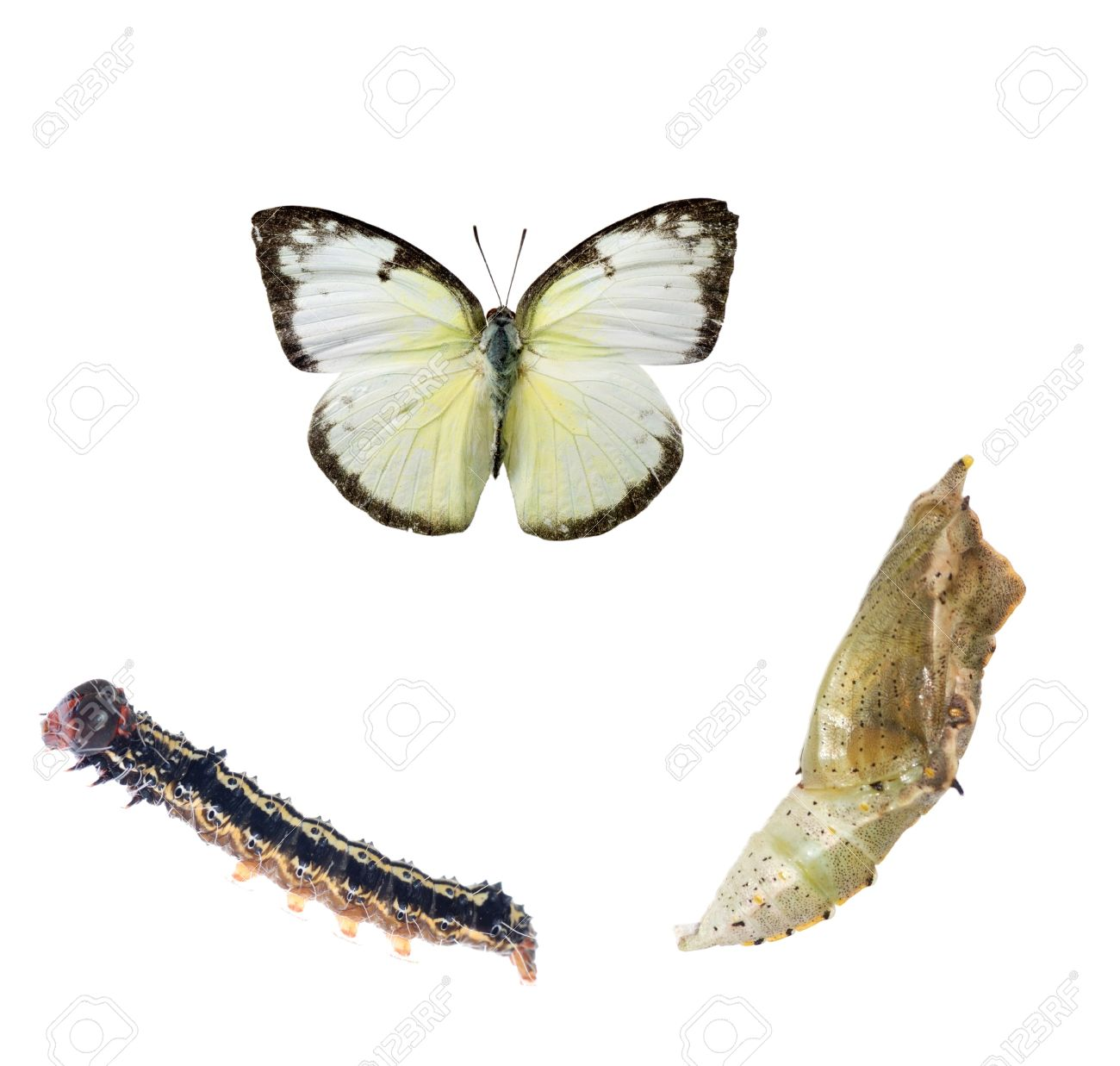 butterfly life cycle isolated on white Stock Photo - 10073761