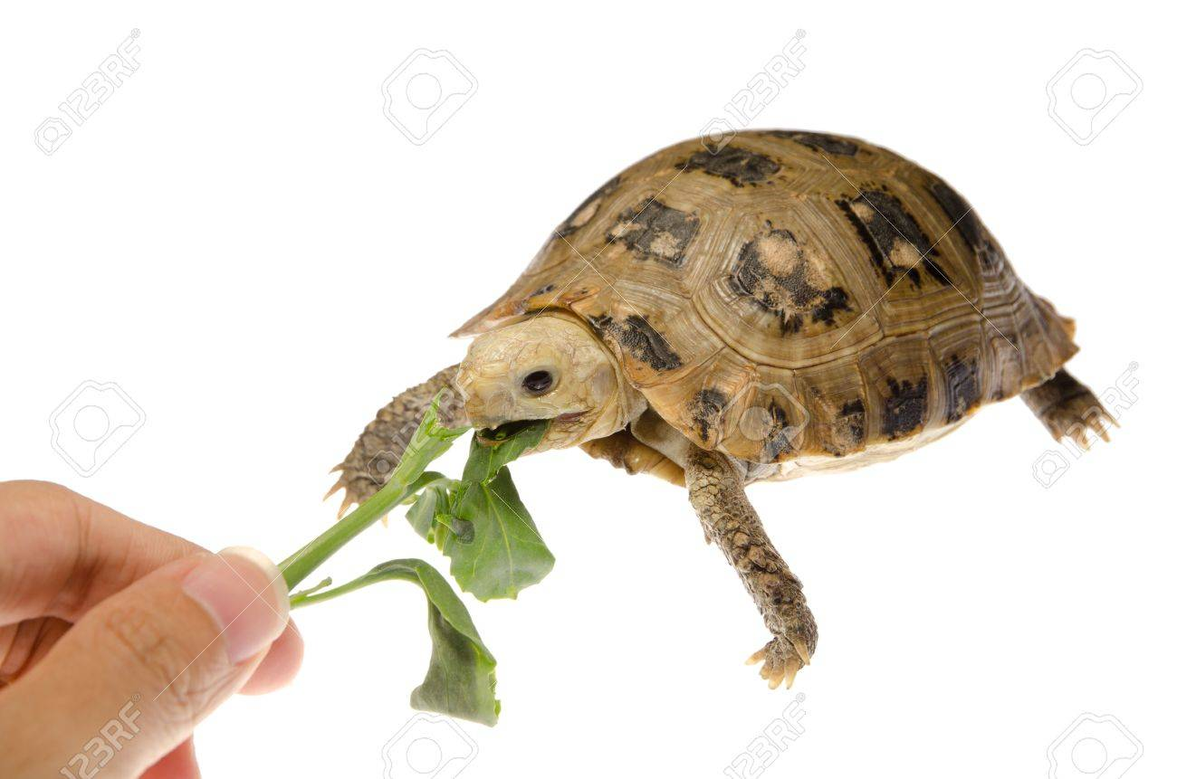 Cute Pet Turtle Tortoise Isolated Stock Photo Picture And Royalty Free Image Image 10752189