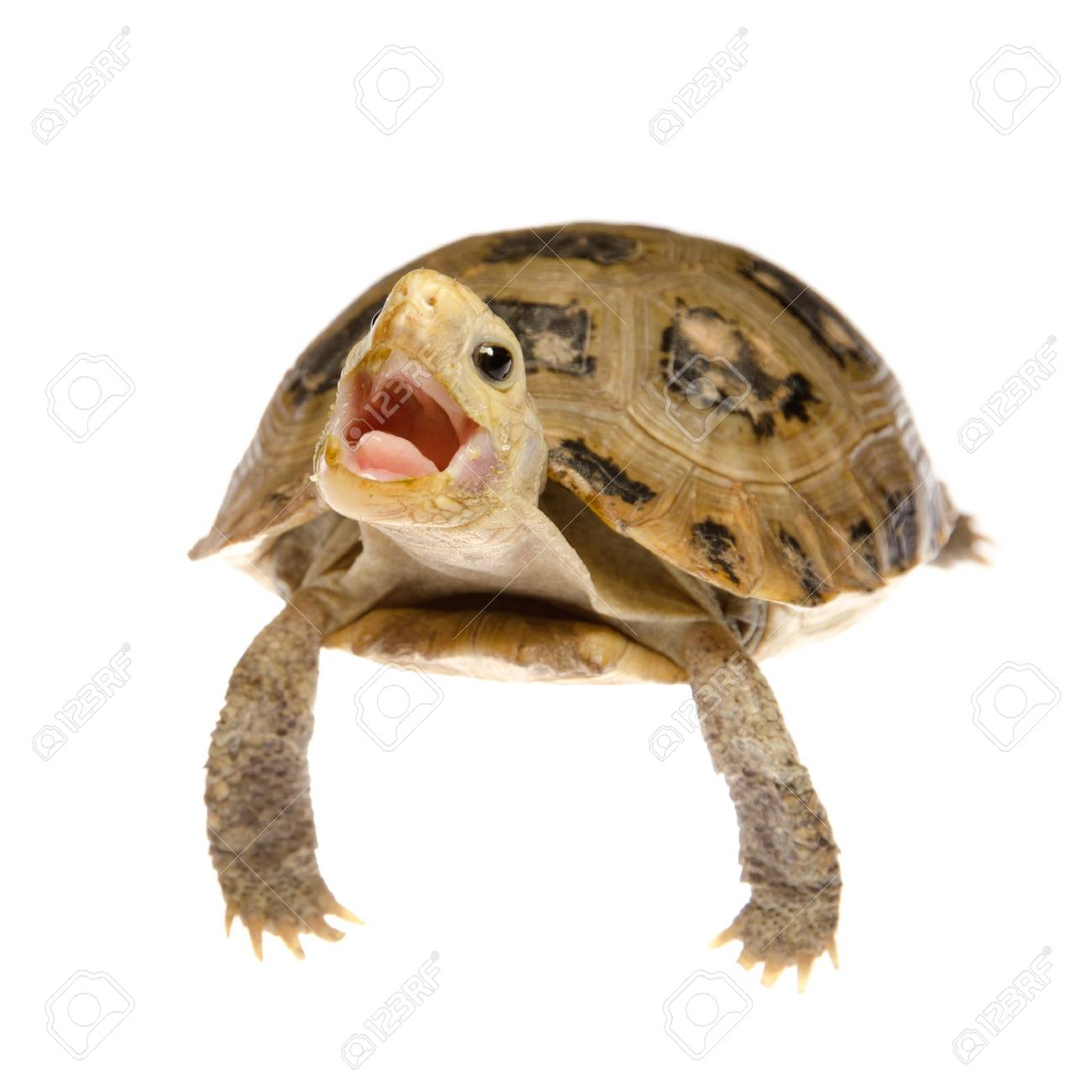 Cute Pet Turtle Tortoise Isolated Stock Photo Picture And Royalty Free Image Image 11149175