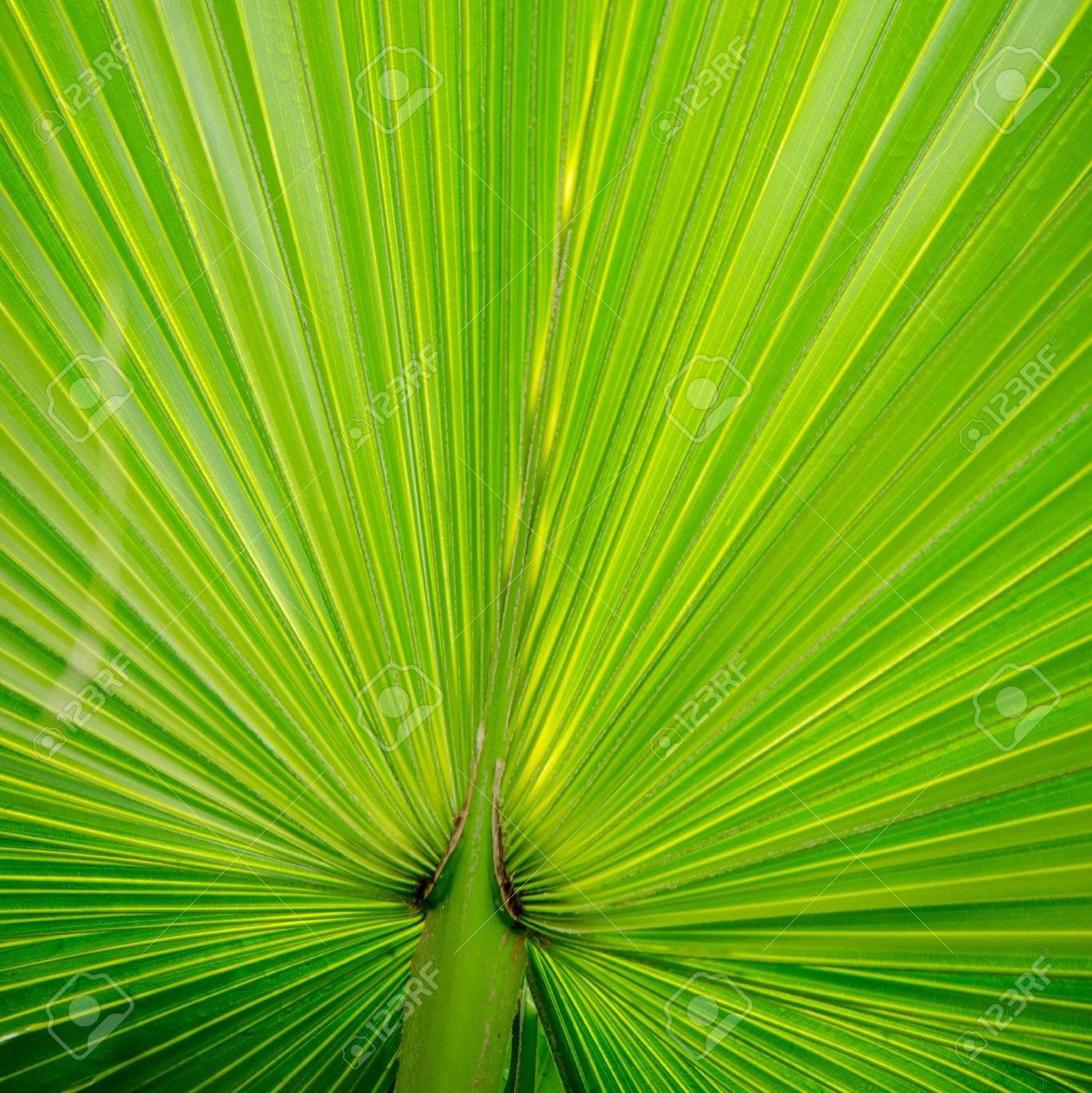 green palm tree leaf close up Stock Photo - 12647727