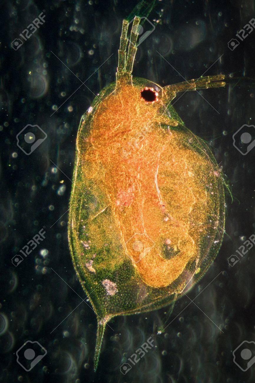 science microscopy micrograph animal water flea, Magnification 50X. Stock Photo - 13227804