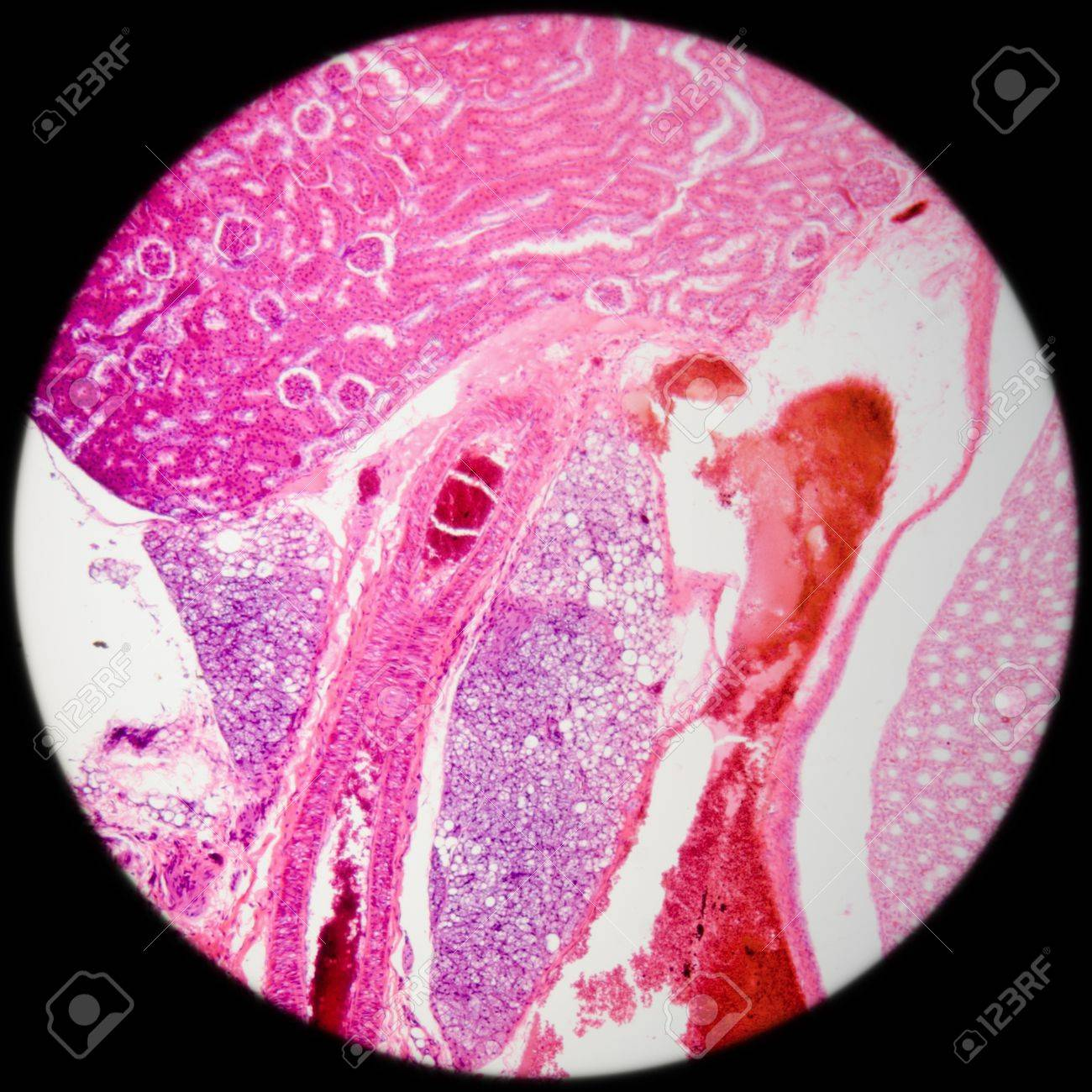 Science Medical Anthropotomy Physiology Microscopic Section Of