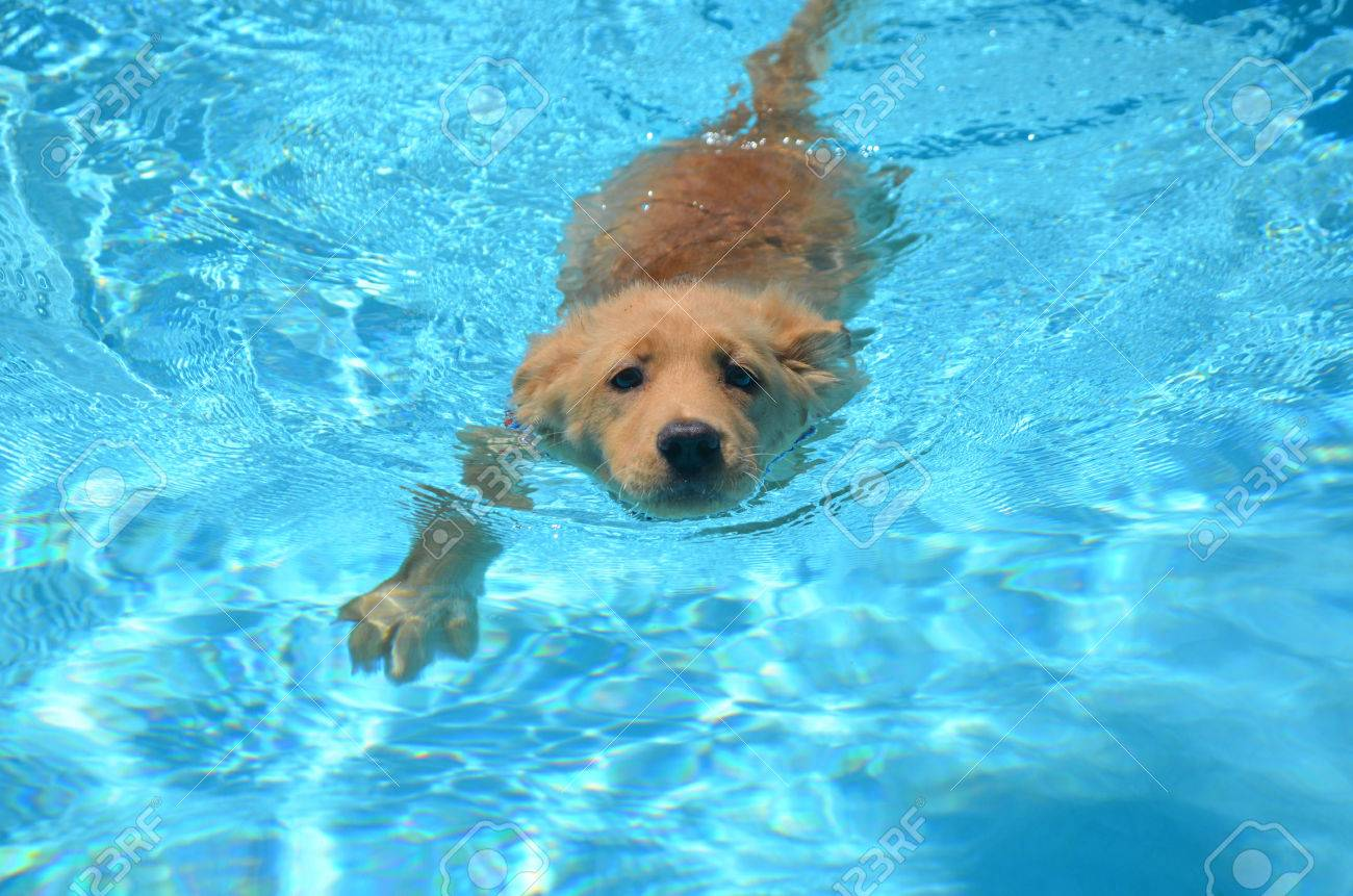 Absolutely Adorable Golden Retriever Puppy Swimming In A Pool Stock Photo Picture And Royalty Free Image Image 62018390