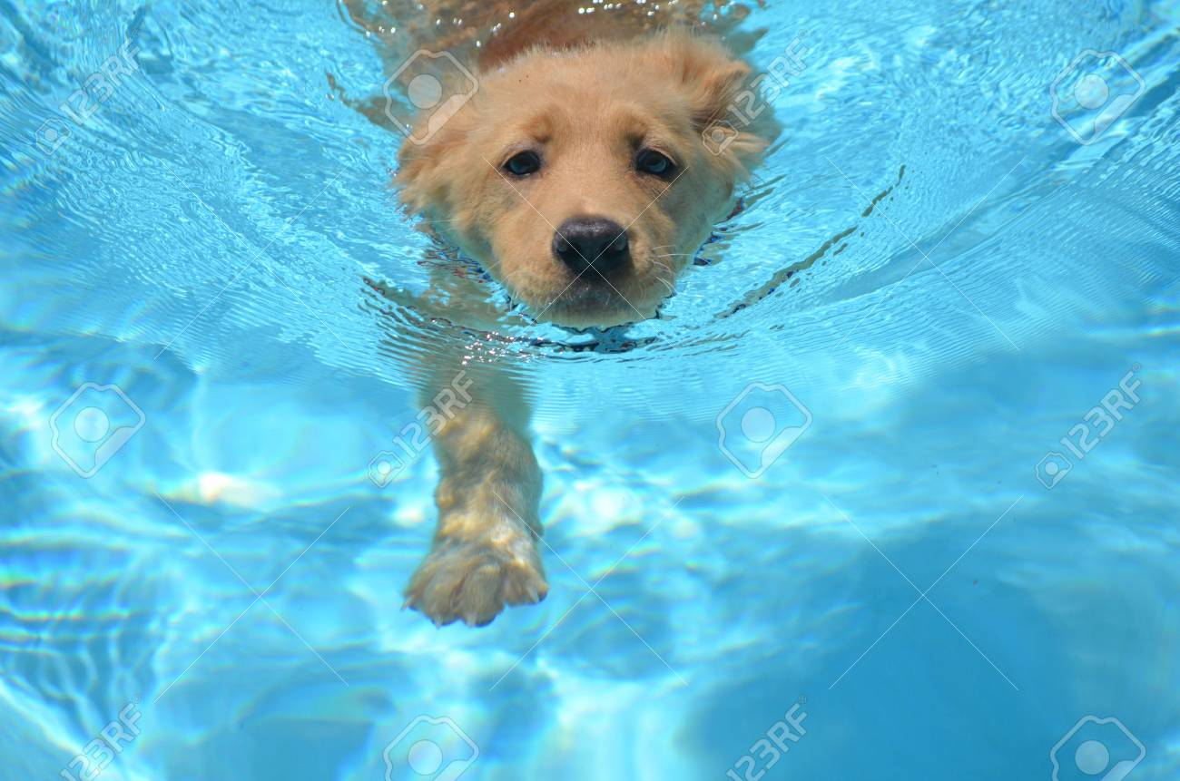 An Adorable Golden Retriever Pup Swimming In A Pool Stock Photo