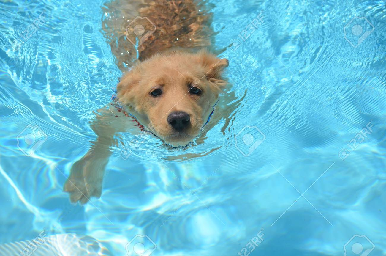 Adorable Golden Retriever Swimming In A Pool Stock Photo Picture And Royalty Free Image Image 62018393