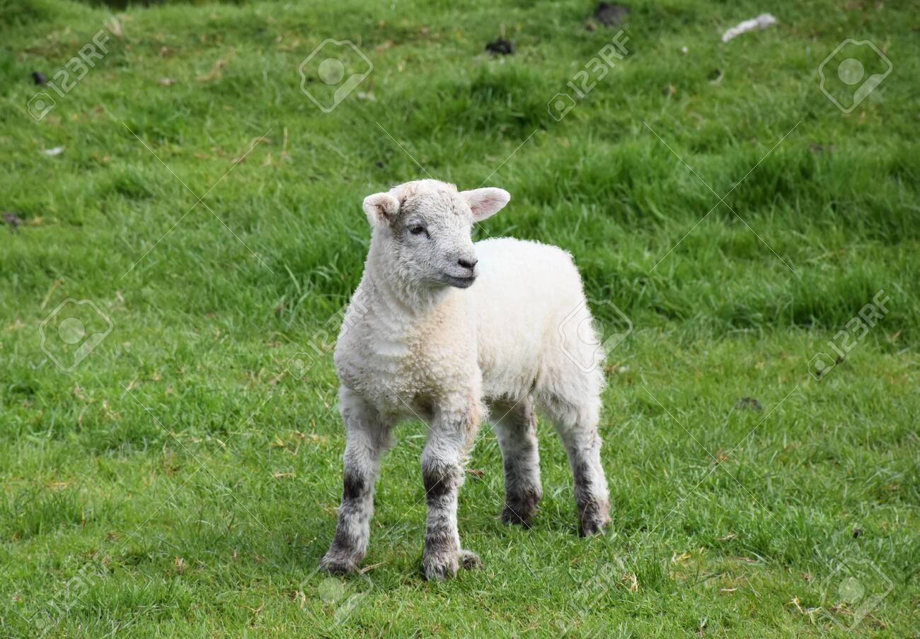 Cute wobbly legged lamb standing in a grassy field. - 142474234