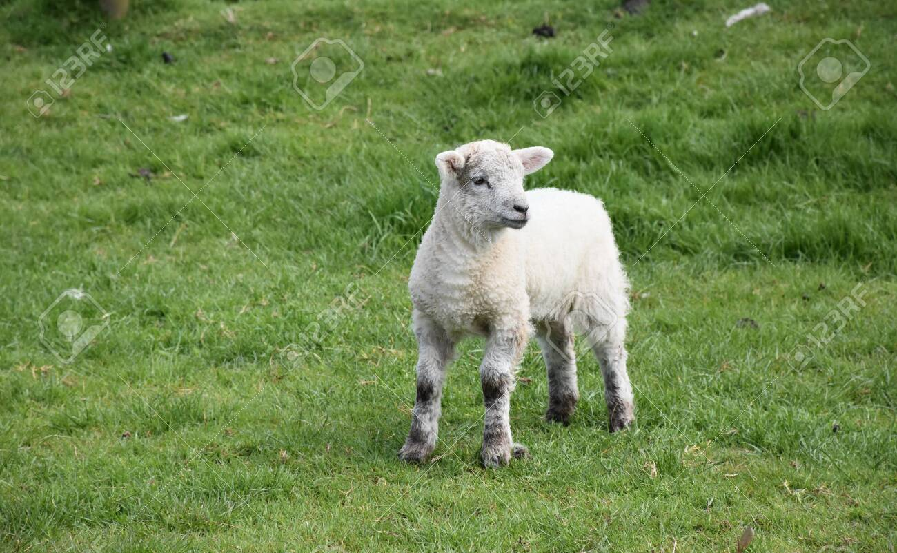 Adorable young lamb standing in a grass pasture. - 142473879