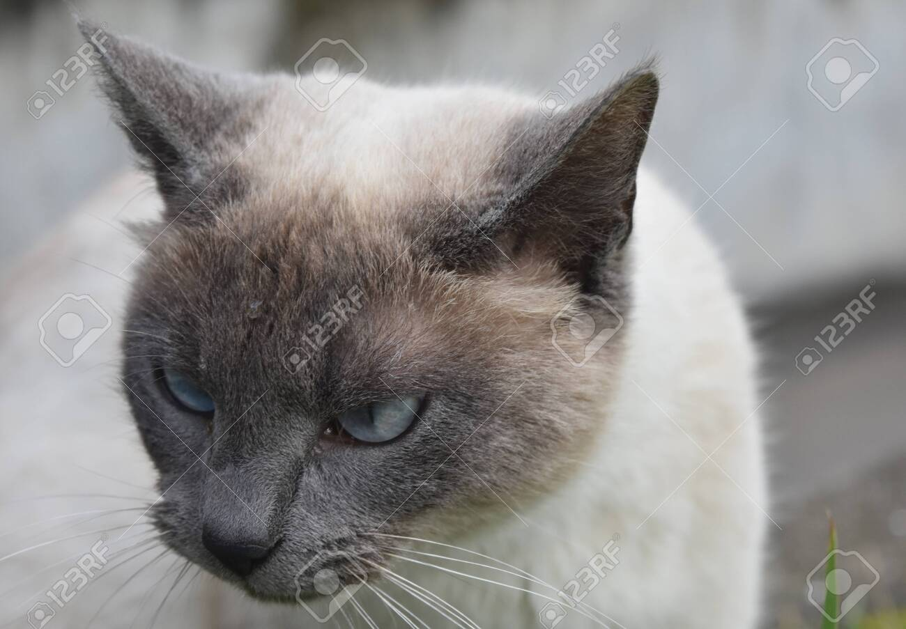 Cream And Gray Short Haired Siamese Cat With Blue Eyes Stock Photo Picture And Royalty Free Image Image 146556482