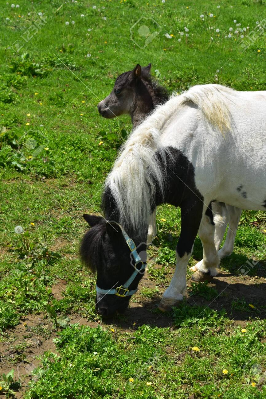 Gorgeous White And Black Mini Horse With A Baby In Pennsylvania Stock Photo Picture And Royalty Free Image Image 147754008