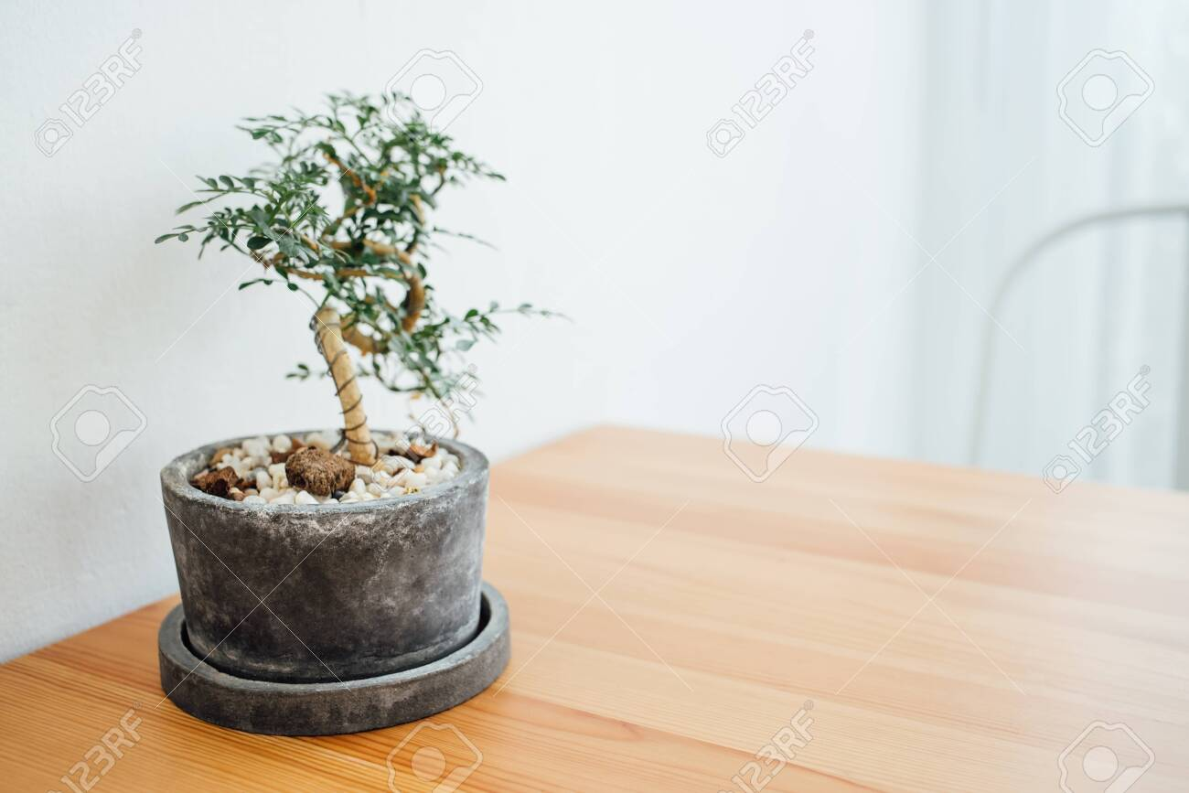 Bonsai Tree On Black Pot On Wooden Table With A Chair In Coffee Stock Photo Picture And Royalty Free Image Image 135866995