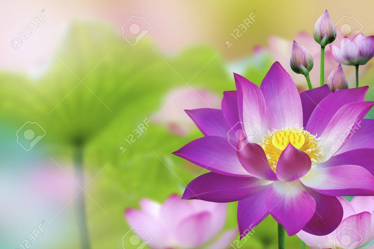 The lotus flower represents one symbol of fortune in buddhism stock photo the lotus flower represents one symbol of fortune in buddhism it grows in muddy water mightylinksfo Choice Image