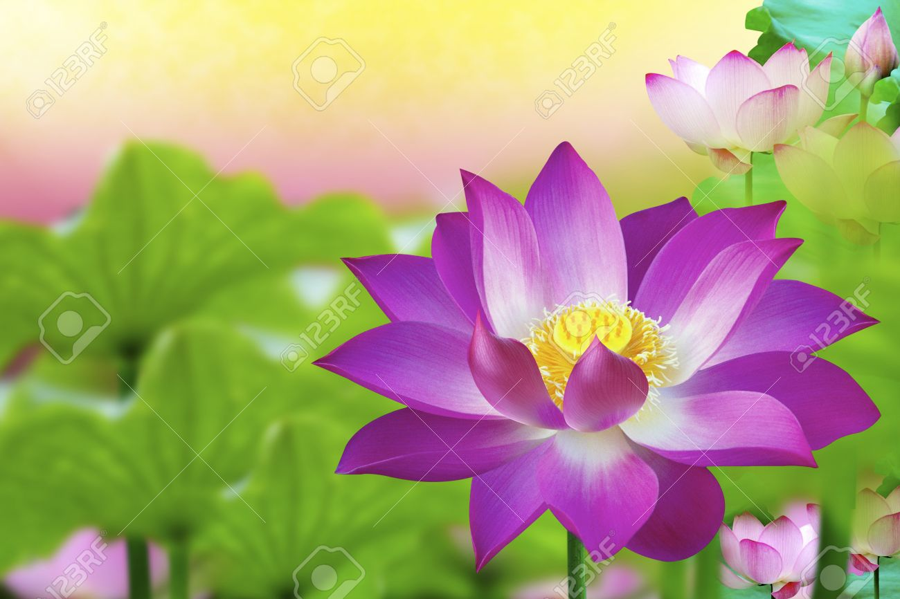 The Lotus Flower Represents One Symbol Of Fortune In Buddhism